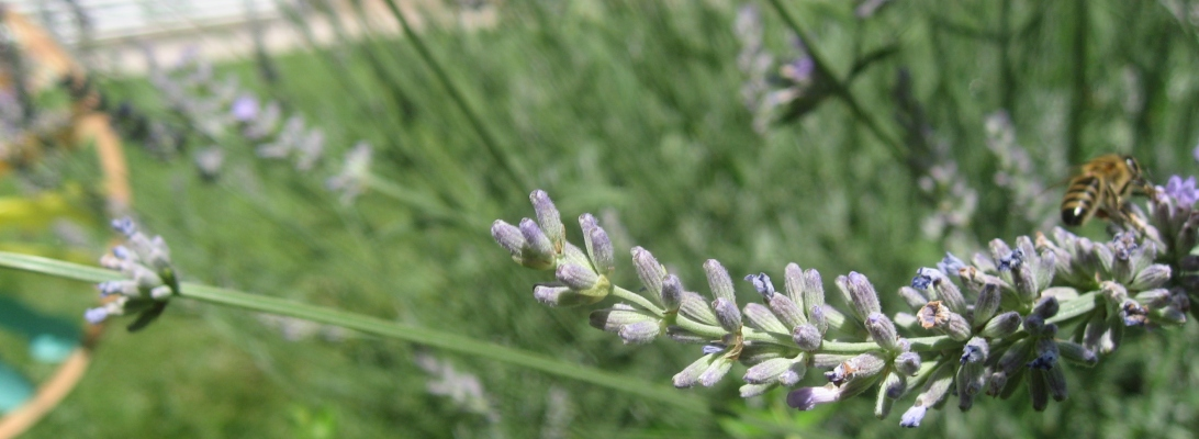 bee lavender nature photography beauty back yard garden