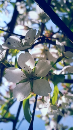 photography my work Japanese cherry blossom sunny day spring flowers bloom nature
