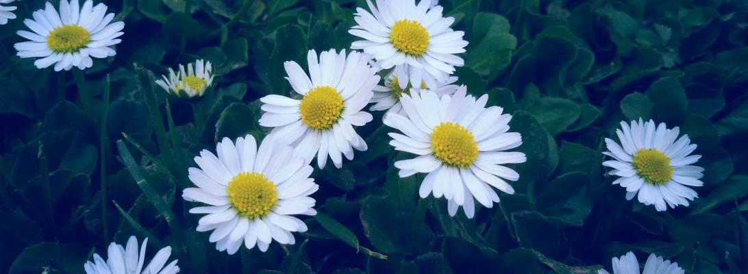 common daisy flower grass flowers photography nature beauty beautiful
