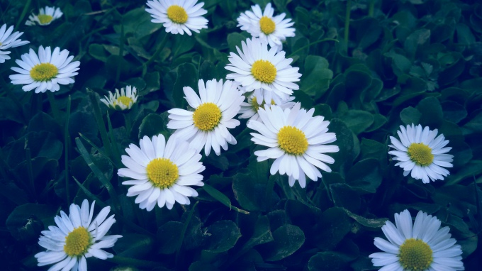 common daisy flower grass flowers photography nature beauty beautiful