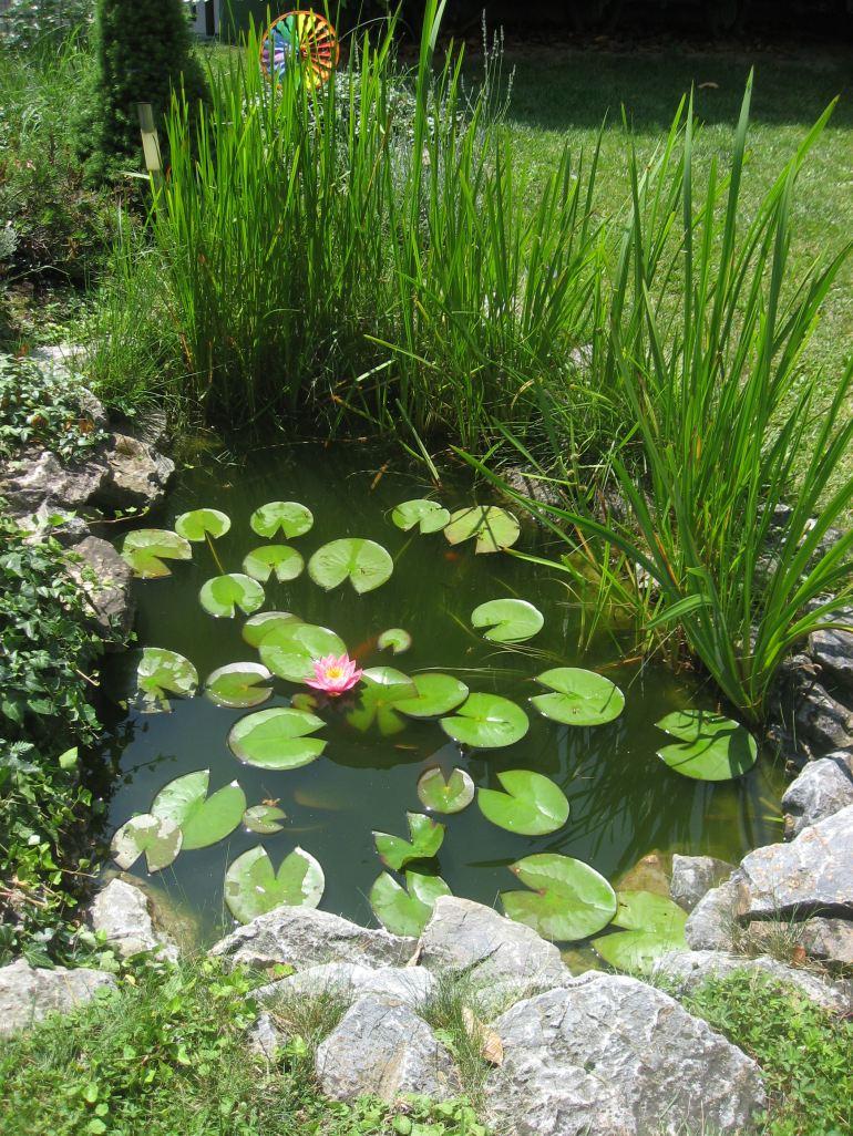 pink lotus coy pond back yard garden