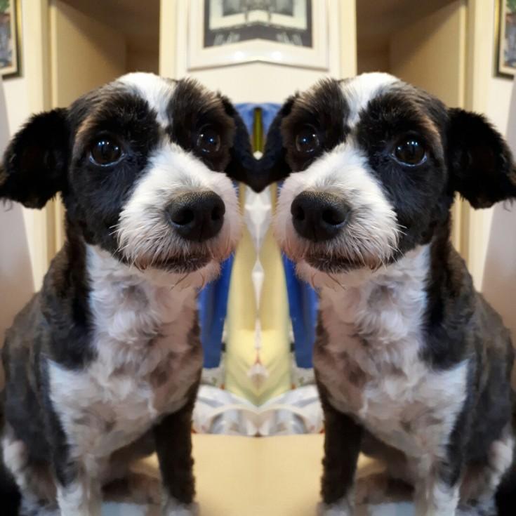 Chinese Crested Powderpuff Dog haircut long hair short pet