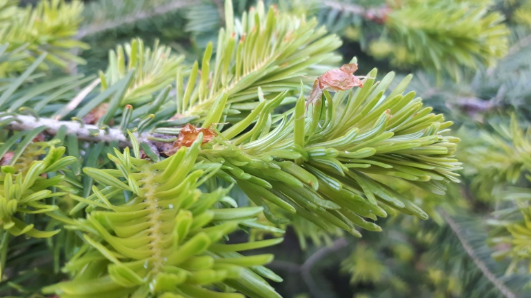 Young pine tree green