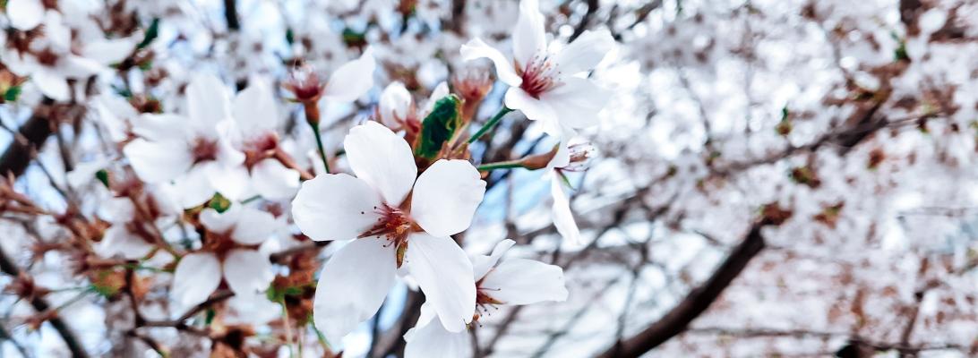 Japanese cherry blossom flower spring bloom CT USA